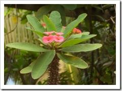 Euphorbia_milii_var._splendens,_flower